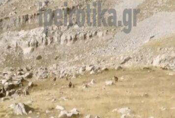 Τυχερή συνάντηση ορειβατών με αγριόγιδα σε βουνά της Ηπείρου (βίντεο)
