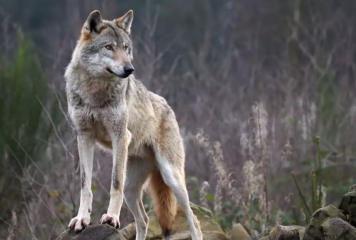 Μέτσοβο: Επιθέσεις λύκων στην Κατάρα